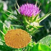 Buy cheap Silymarin/Milk Thistle Extract, Used in Drug and Cosmetics from wholesalers