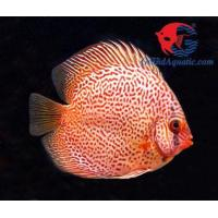 Quality breeding betta fish buy from 17 breeding betta fish for Best place to buy discus fish