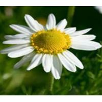 Standardized Extract Chamomile Extract