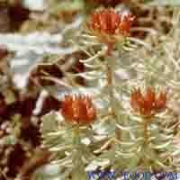 Cheap Rhodiola Rosea P.E. for sale