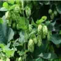 Cheap Hops extract for sale
