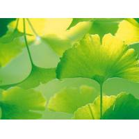 Cheap Ginkgo Biloba for sale