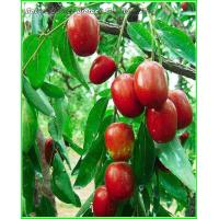 Cheap Red Date Series Organic Red Date Product for sale