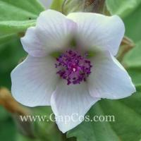 Althaea Officinalis Marshmallow Root P.E. Manufactures