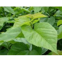 Ratio Extracts Mulberry leaf extract