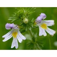 Cheap Eyebright Extract for sale